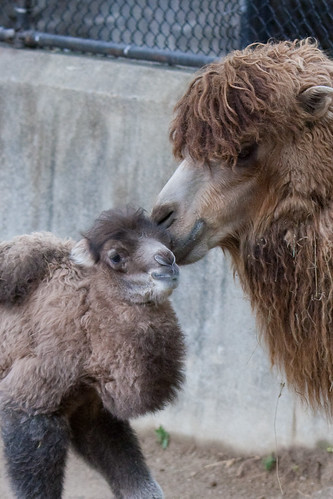 Baby Male Bactrian Camel - 4-29-12 -  (15 of 31) | by Mark Dumont