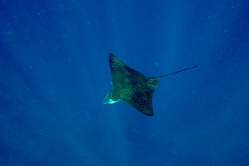 Eagle Ray | by Landersz