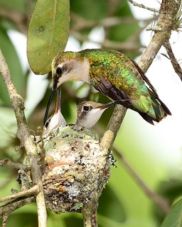THESE TWO RUBY-THROATS FLEDGED AN HOUR AFTER I SHOT THE PHOTOS! | by WS RANDALL