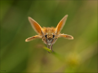 Small Skipper | by Andy Seely