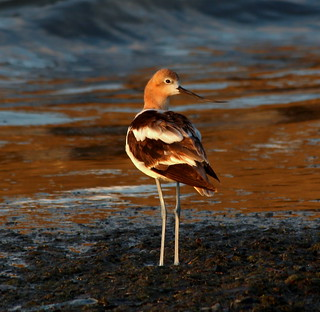 American Avocet | by John Hill Photography