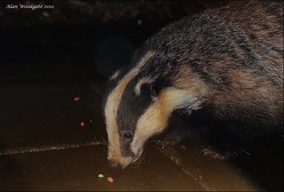 My nightly visitor - Buckinghamshire | by Alan Woodgate