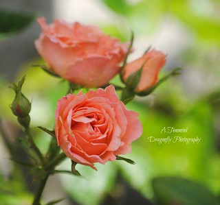 Sweet Dreams Rose | by A.Temmink-Smith