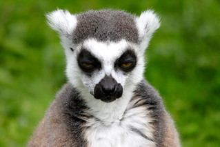Ring-Tailed Lemur | by S C photos