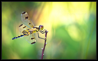Calico Pennant | by Josh Merrill Photography