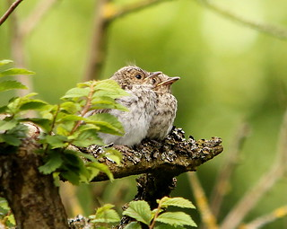 spotted flycatchers | by ruth eastwood