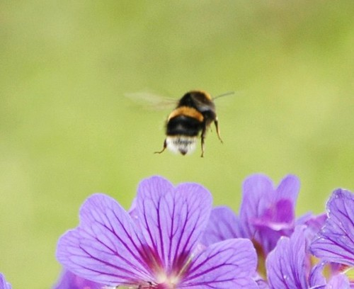 flight of the Bumble Bee | by Jacky4me