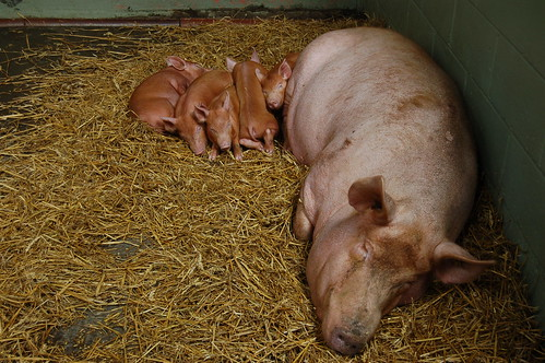 Piglets Jul 12 2