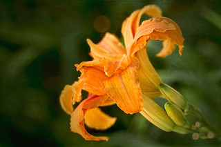 Fancy daylily | by Celeste M (more off than on)