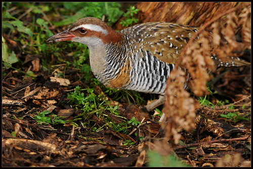 Buff-banded Rail (Gallirallus philippensis) | by sesamest74