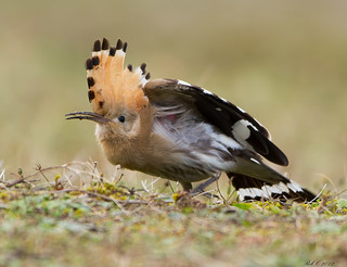 Hoopoe | by robcimages.co.uk