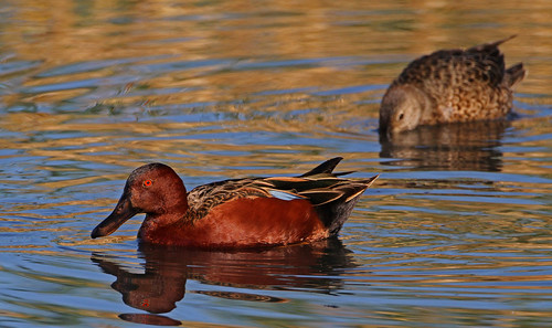 Cinnamon Teal | by tomblandford