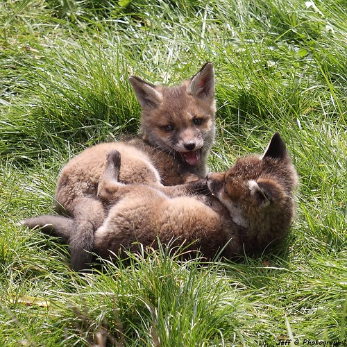 Fox Cubs | by Jeff G Photo - 2.5m+ views! - jeffgphoto@outlook.c