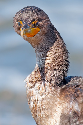 Double-crested Cormorant | by Brian E Kushner