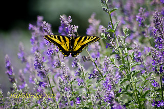 Swallowtail 001 | by angellady9245