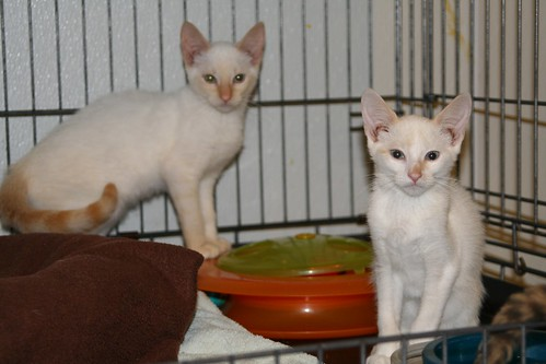 Bacardi and Captain Morgan (adoption pending) | by Goathouse Refuge