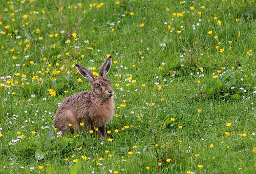 Brown Hare (8084) | by Lyndsey A Howard