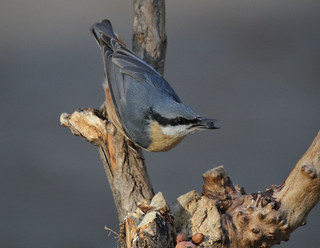 Niger Nuthatch | by Jacqui Herrington: