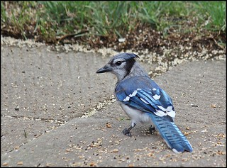 Mr. Blue Jay | by Sue90ca School Buses Canceled Will Be A Quiet Day