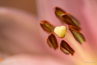 Arrows pistils | by Lorenzoclick