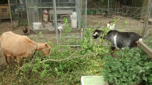 goats May 16 (11)
