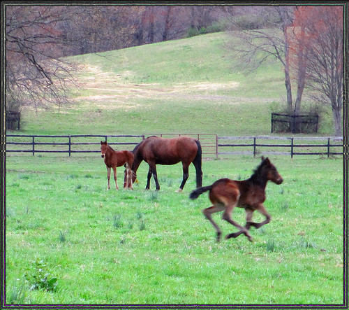 Swift~ Hamptonburg, NY  : These foals are bred for trotting and pacing. | by PhotosbyTallulah