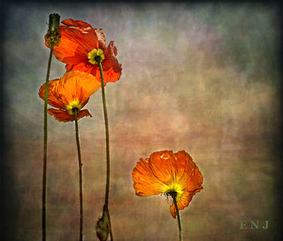IMG_1220 Mohn | by ENOU2011