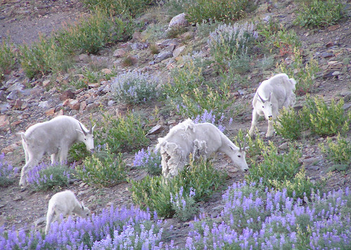 03 mt goat survey nwwd odfw rocky mountain goats for Oregon department of fish and wildlife jobs