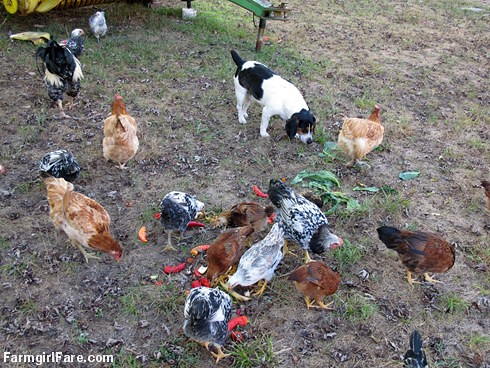 Chicken snacks. . . they aren't just for chickens (5) | by Farmgirl Susan
