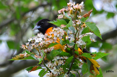 Baltimore Oriole | by jt893x
