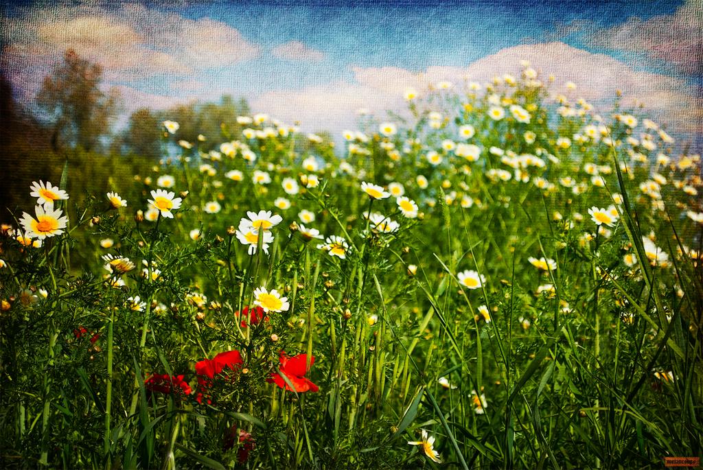 las flores del campo no quieren macetas. the flowers of th… | flickr