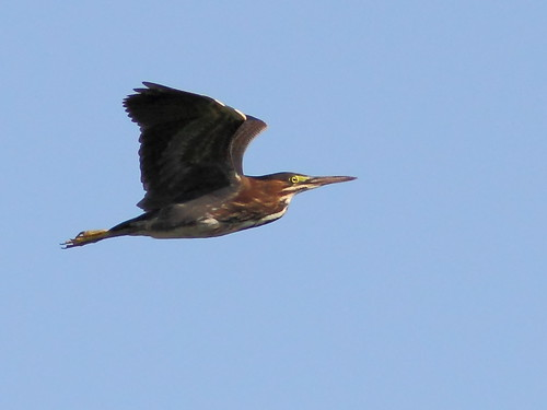 Green Heron in flight 2-20120717 | by Kenneth Cole Schneider