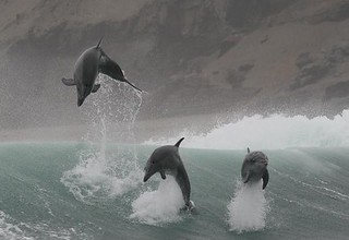 Bottlenose dolphins - Whale and dolphin watching in Peru with Nature Expeditions 5 | by stefanaustermuhle