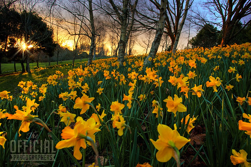 Daffodil Day 2012 | by AARON_400D