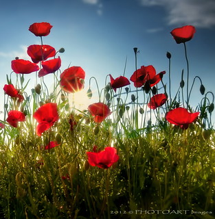 Tuscan tall poppies | by PhotoArt Images (mostly off)