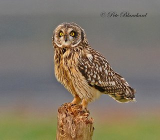 Short Eared Owl | by PETEJLB