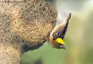 Baya Weaver Male ( Ploceus phillippinus ) | by gary1844