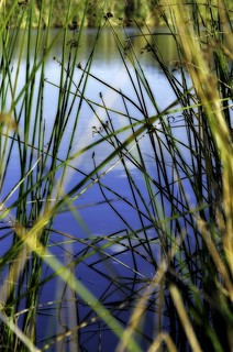 reeds and water | by tizza70
