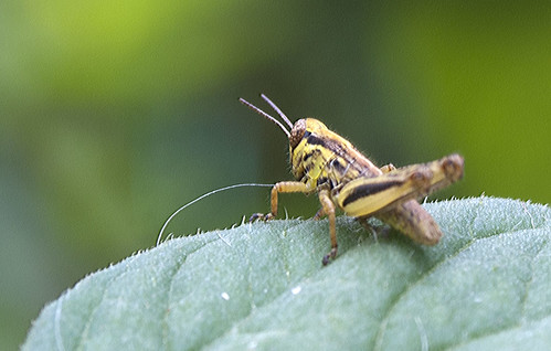 Grasshopper | by creepin'festus