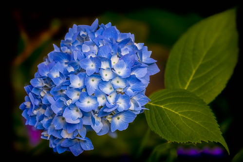 Elegant Blue Bouquet....... **EXPLORE #433 07/11/2012** | by P C Chang