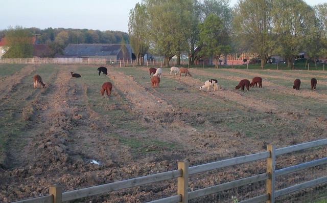 Llamas Near Ypres (Ieper)
