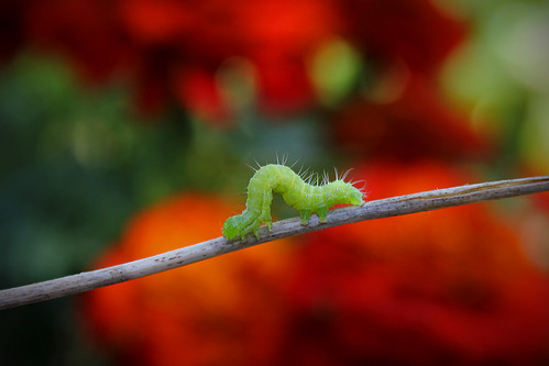 Inch Worm | by pukunui81