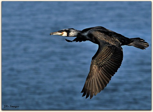 CORMORANT FLY BY | by Natureshots.JP