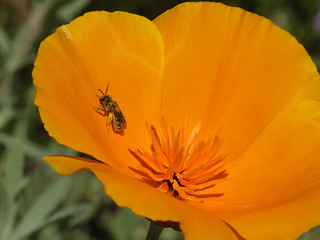 TinyBee&CalPoppy_6220a | by JKehoe_Photos