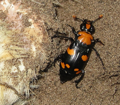 American Burying Beetle | by USFWS Mountain Prairie