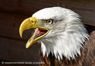 Bald Eagle | by Nigel Nudds Photography