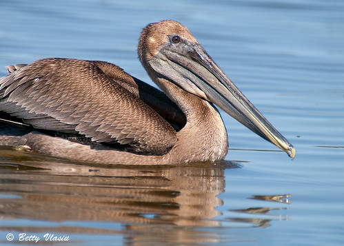 Brown Pelican | by Betty Vlasiu