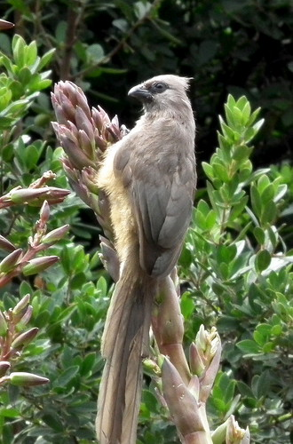 Speckled Mousebird | by 2mag7- I'm just busy being myself!