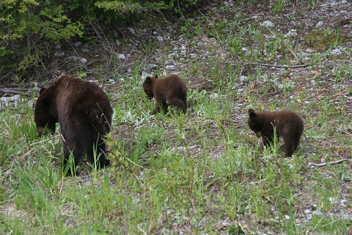 Black Bears in Nordic - June 25, 2012 212 | by cypressmountain