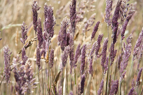 Lavender Grasses | by karith